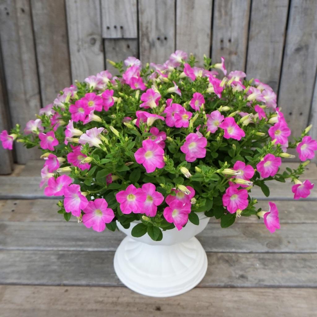 切り戻し後に、綺麗に育ったペチュニアのマドンナの宝石ピンク